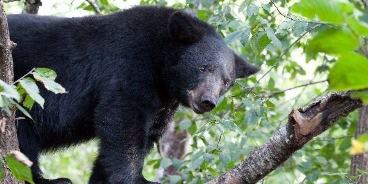 Police: Black bear sighting reported in Geauga County