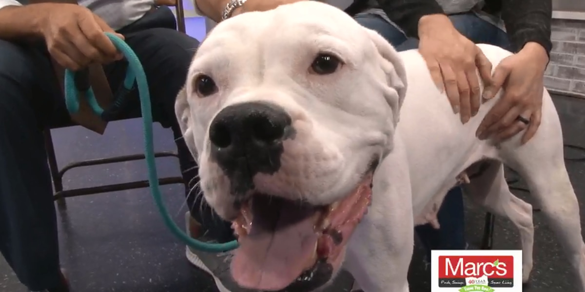 Cleveland APL Pet of the Week: Gentle Boxer is ready to be your buddy for life