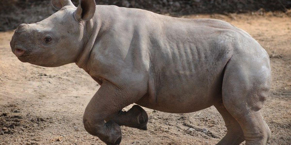 Baby rhino makes first public appearance, here's the photos