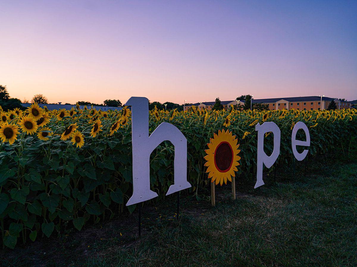 Prayers From Maria sunflower field in Sandusky now in full bloom