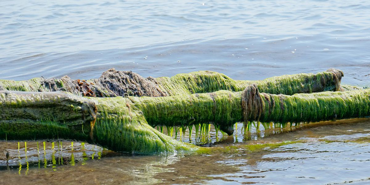Toxic algal bloom expected to be bad this summer in Lake Erie
