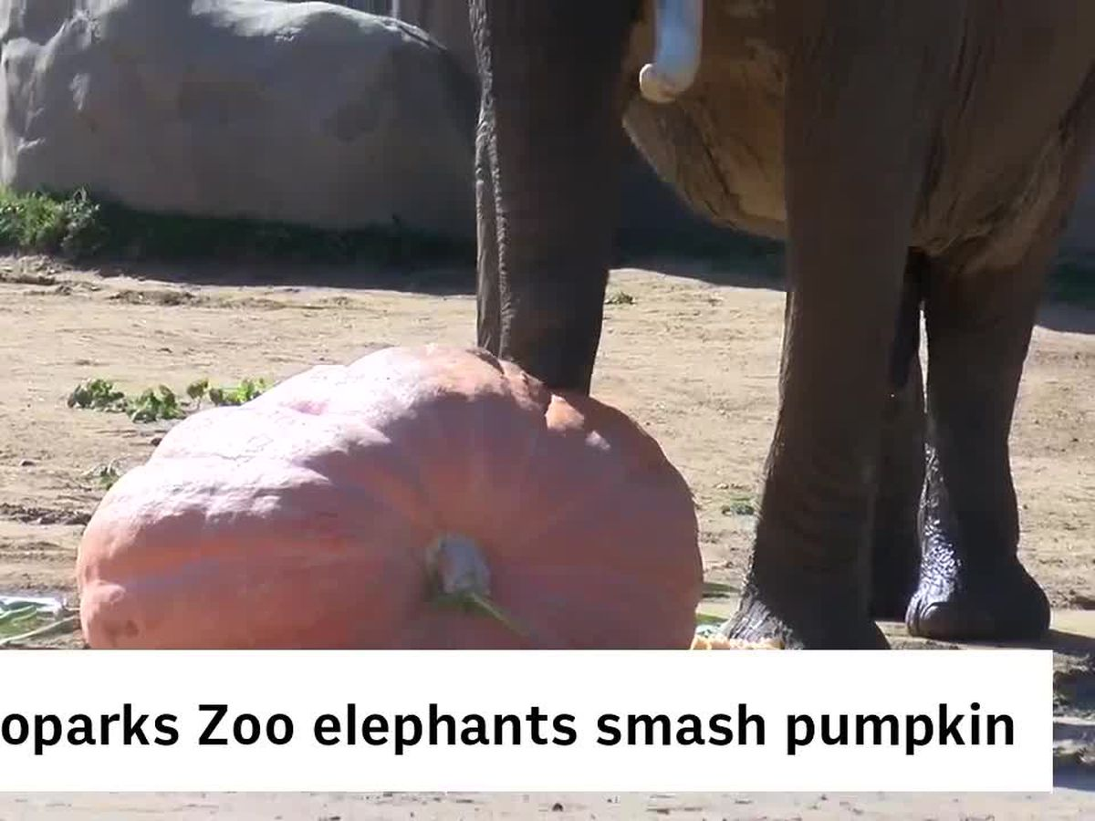 Watch elephants smash a 1,300-pound pumpkin at the Cleveland Metroparks Zoo