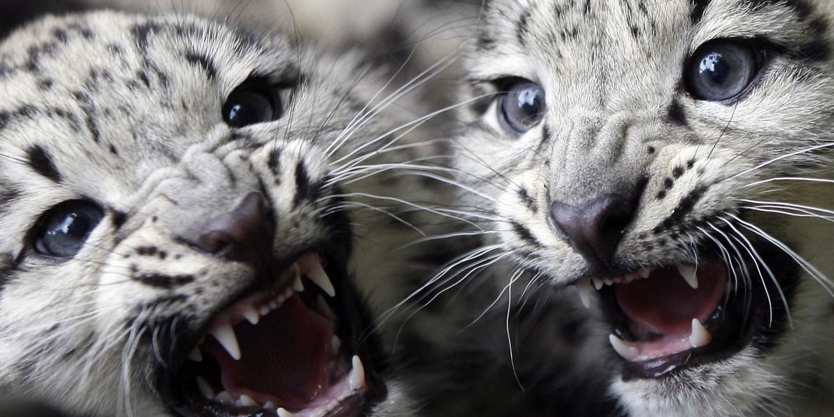 Cleveland Metroparks Zoo welcomes snow leopard triplets