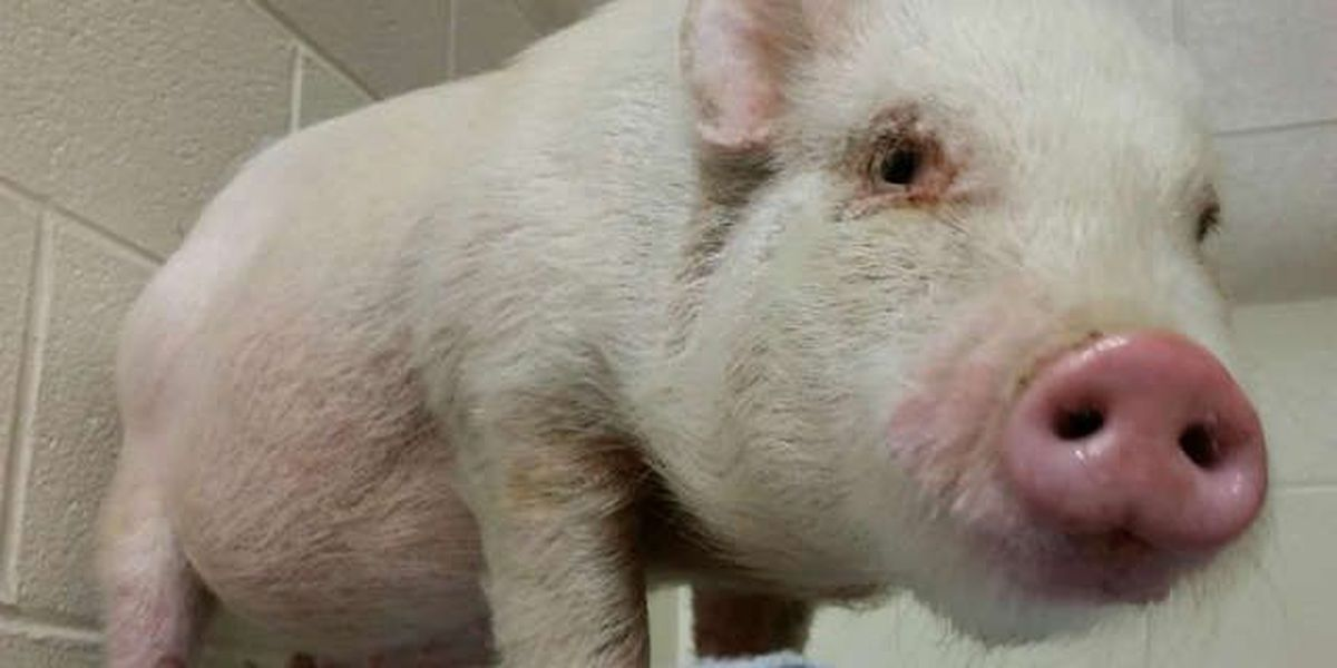 Berea police looking to reunite lost pig with owner