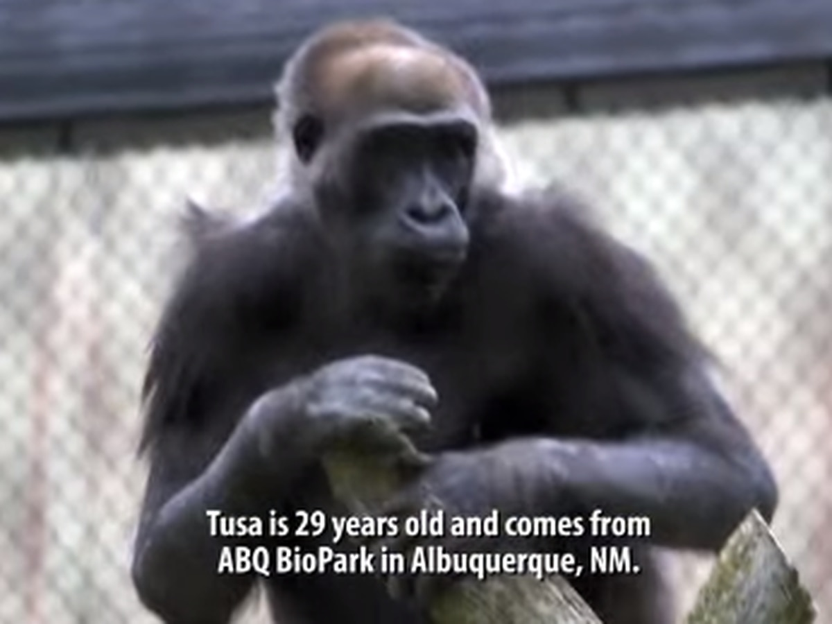 Cleveland Metroparks Zoo welcomes new gorilla to primate exhibit