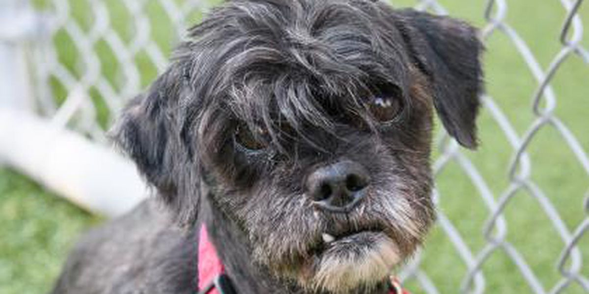 Cleveland APL Pet of the Week: Suave Shih Tzu mix is a go-to sidekick