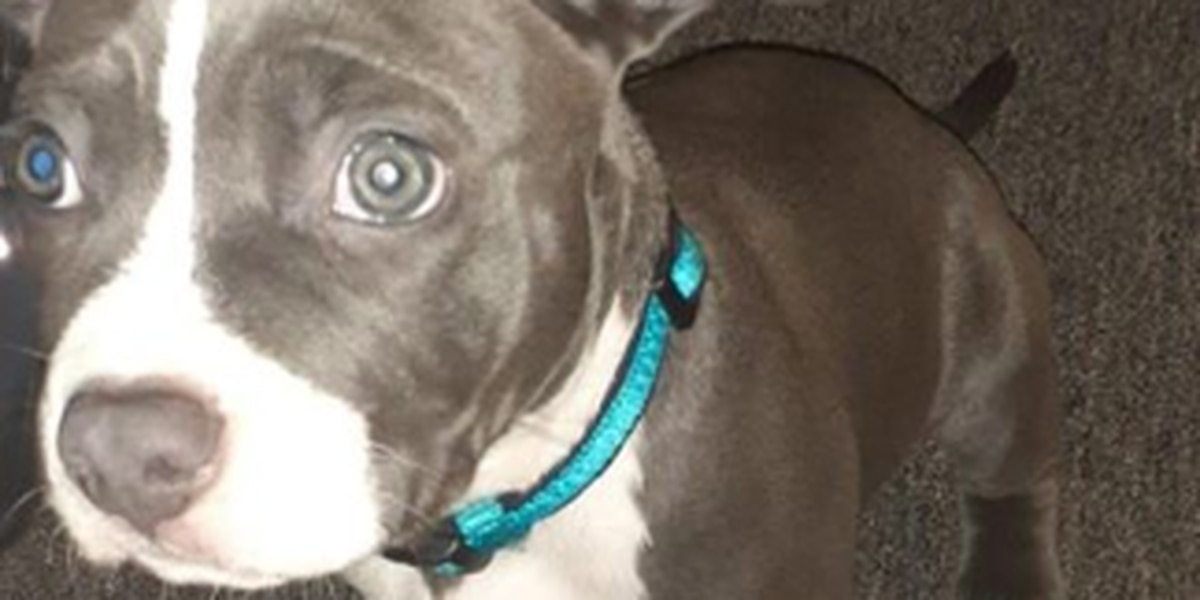 Amherst Police searching for stolen puppy and suspect who snatched him
