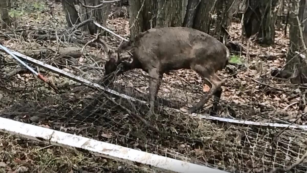 Brunswick Police save buck caught up in soccer net