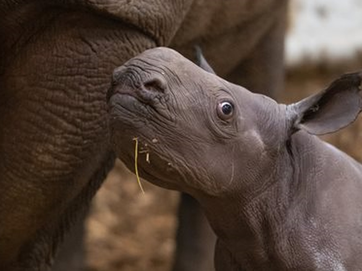 Rhino calf makes debut at Cleveland Metroparks Zoo