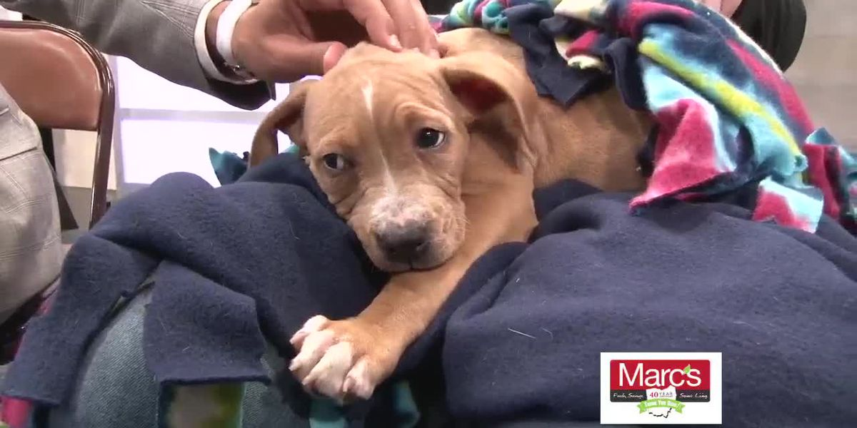 Cleveland APL Pet of the Week: Pit bull puppy stealing hearts and searching for Furever Home