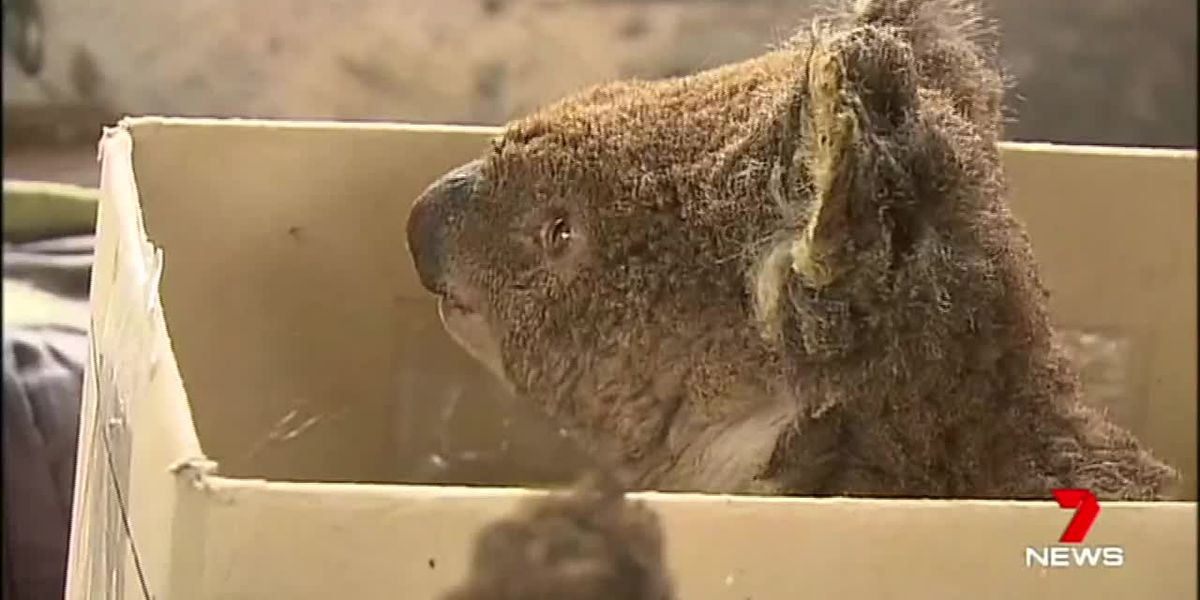 With the Cleveland Metroparks Zoo, here's how you can help the Australian wildlife impacted by fires