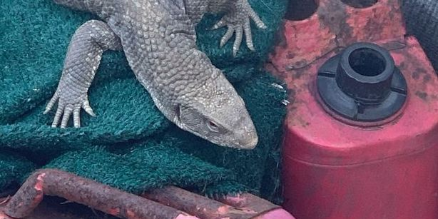 Did you lose your pet lizard? It's now at Euclid Animal Shelter after being found outside