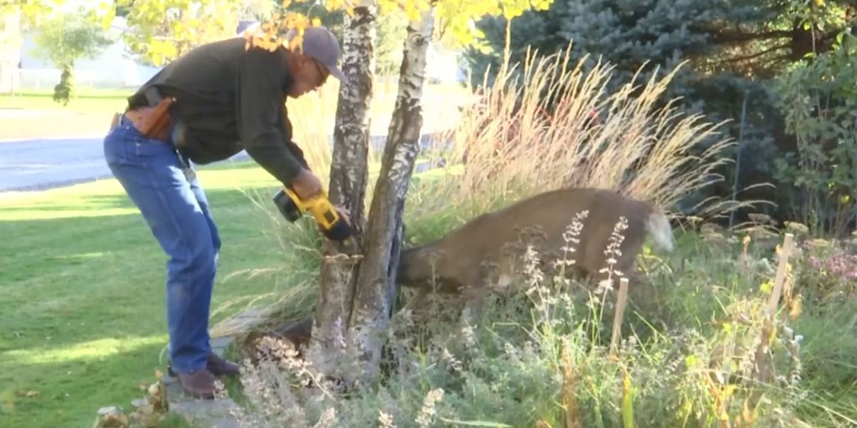 Buck stuck in tree freed by wildlife officials