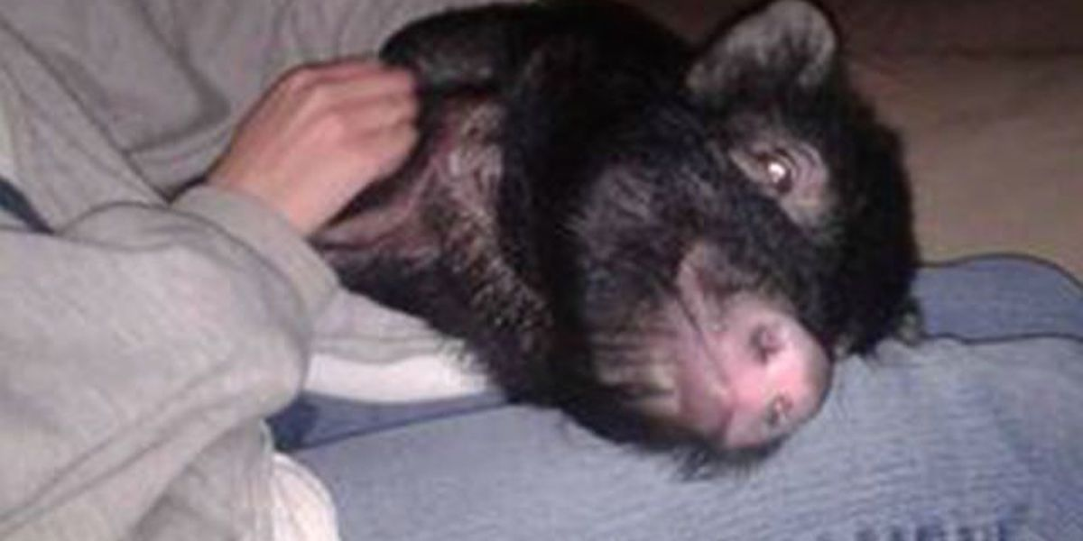 Pot-bellied pig at the center of custody dispute