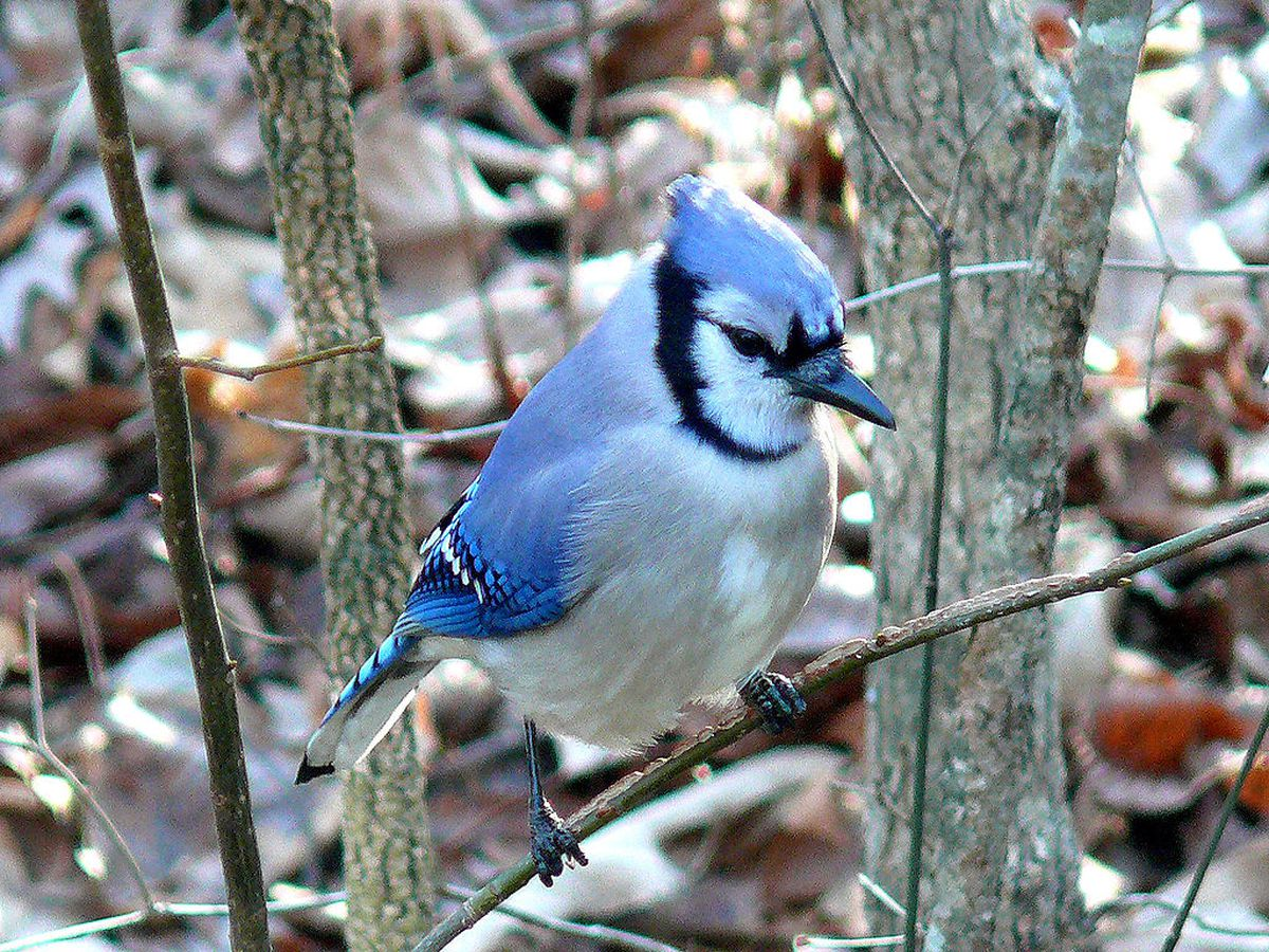 Did you know Ohio's blue jay's feathers aren't really blue?