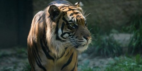 Akron Zoo responds after tiger formerly kept at their facility attacks zookeeper in Topeka, KS
