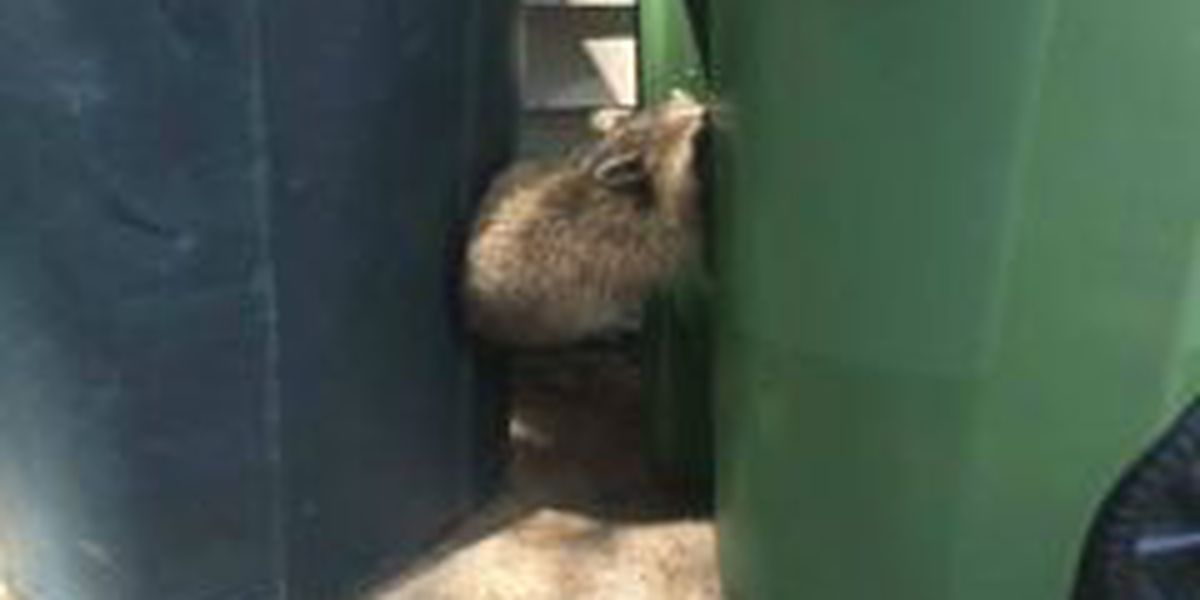 Eastlake: Raccoon helps another raccoon escape a trash can