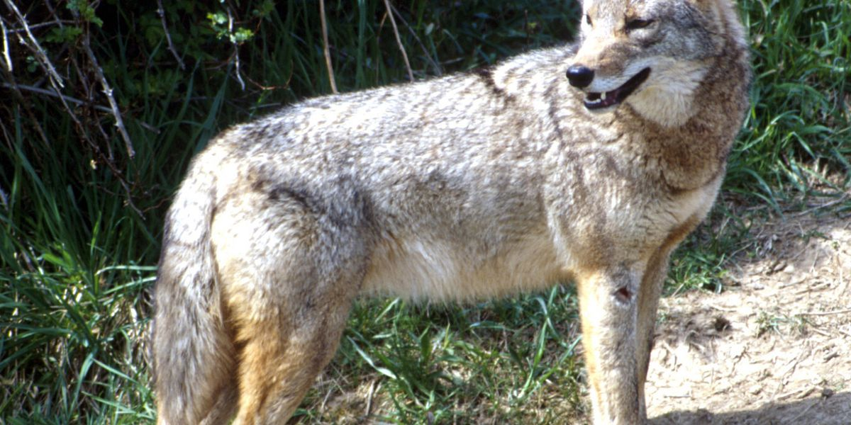 Police warn about coyotes in area after recent attack on dog in Lake County park