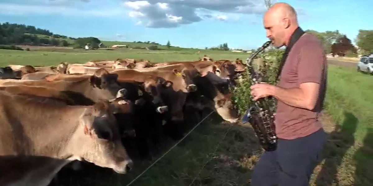 Man serenades cows with saxophone: The herd is 'moooved'