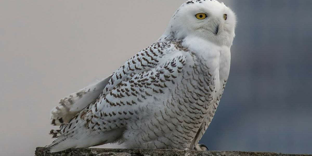 Snowy Owl pictures being sent in from Northeast Ohio