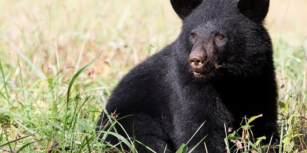 Police issue warning after a bear spotted several times in Ashtabula County