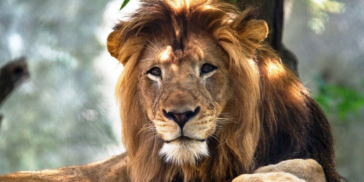 Lioness kills father of 3 cubs at Indianapolis Zoo