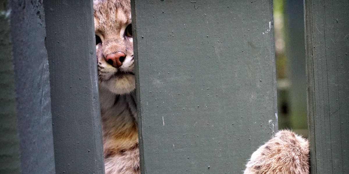 Rescued bobcat is returned to the wild after escaping the jaws of a fox (video)
