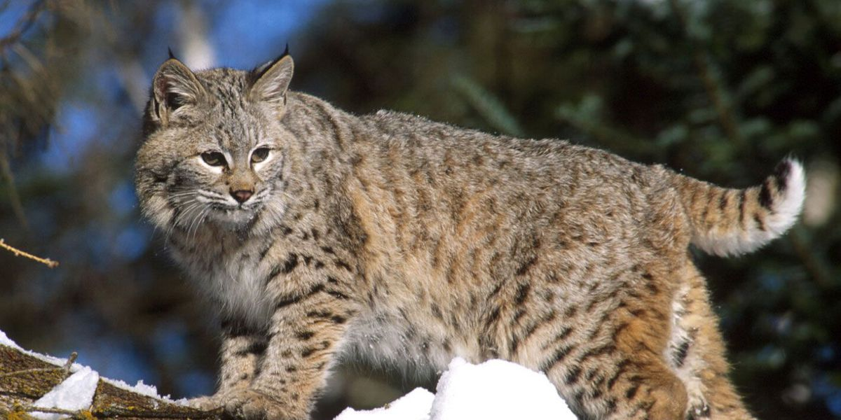 Bobcat sighting reported in northern Ohio