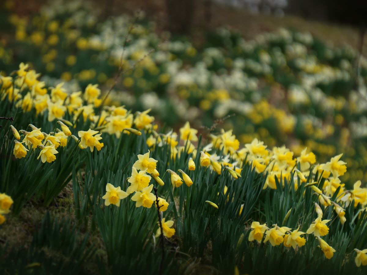 These pictures of Daffodil Hill will actually make you want to visit a cemetery in Cleveland
