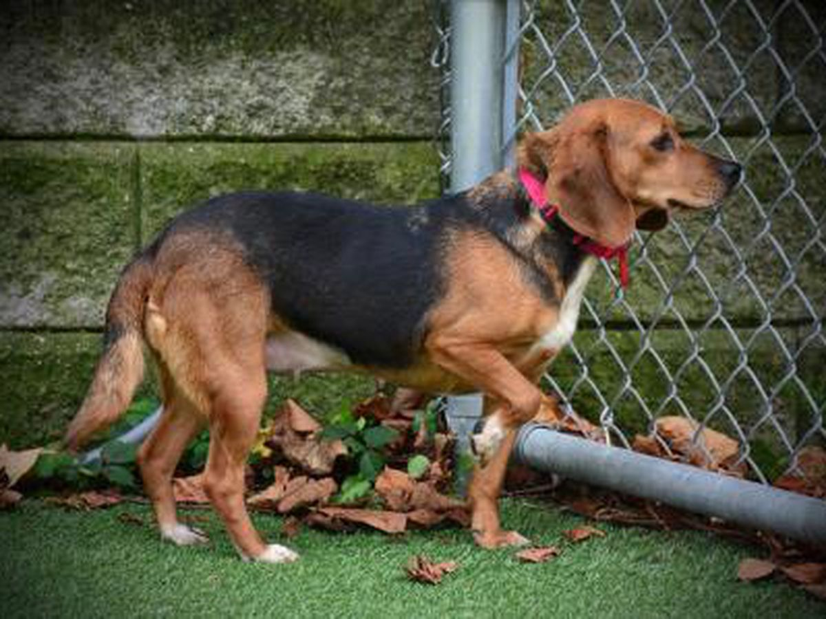 Cleveland APL Pet of the Week: Bea the Beagle on the lookout for a new roommate