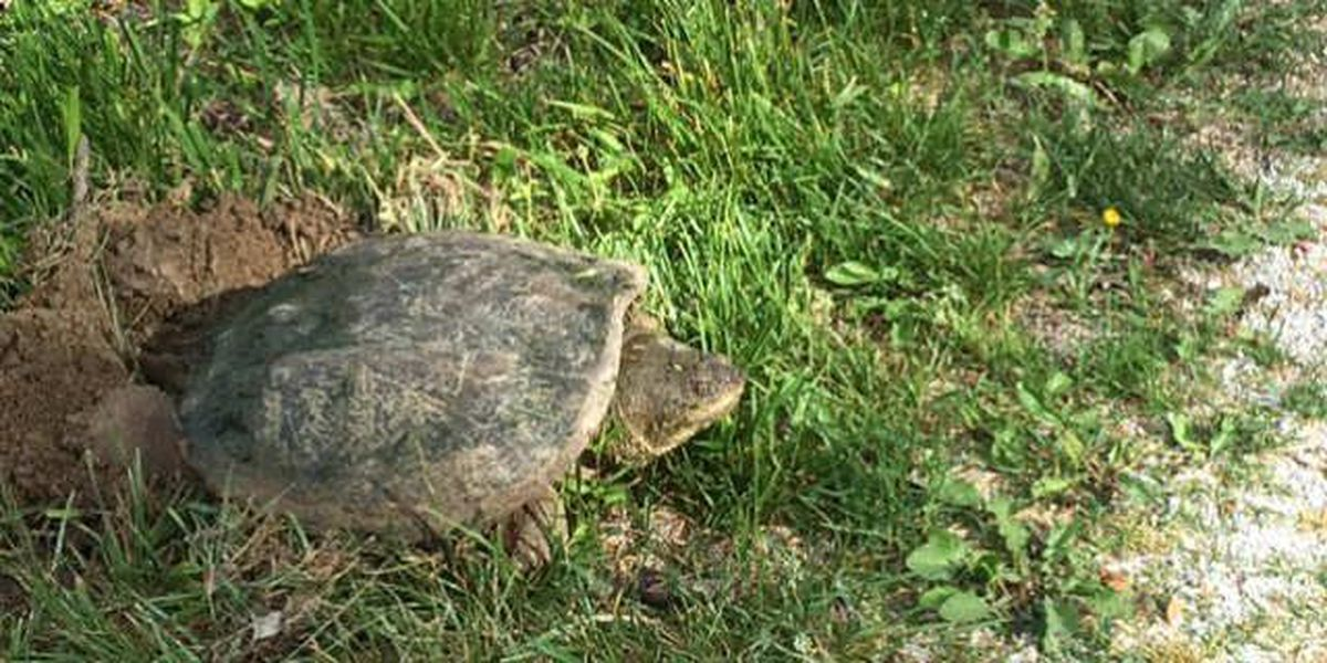Painted turtle lays eggs in the Cuyahoga Valley National Park