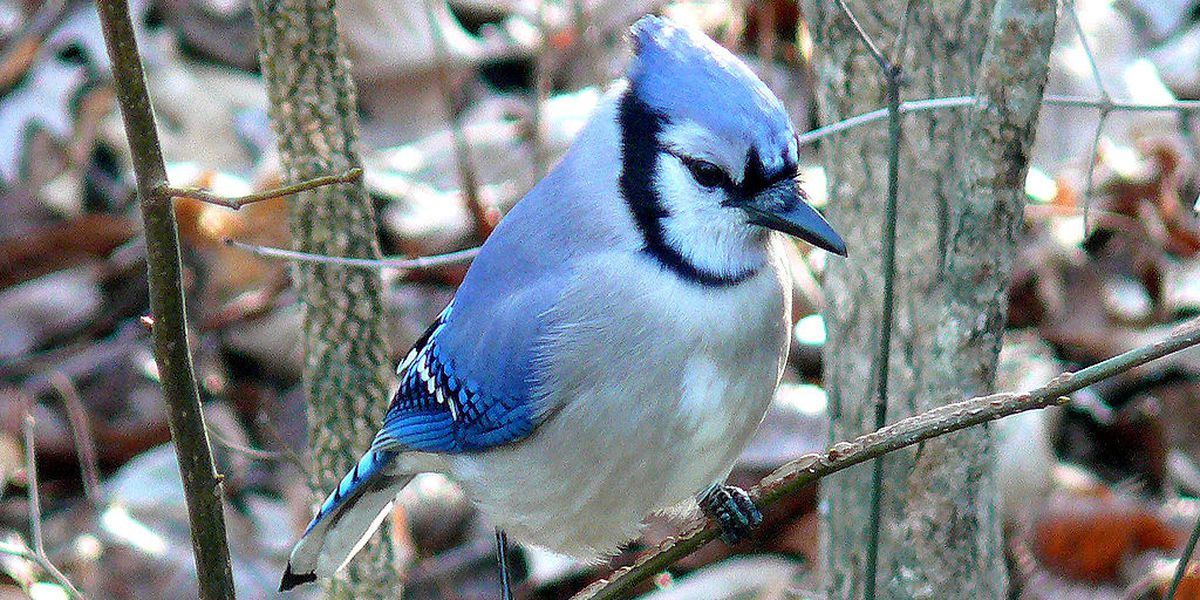 Ohio's blue jay feathers aren't really blue, here's how it tricks your eyes