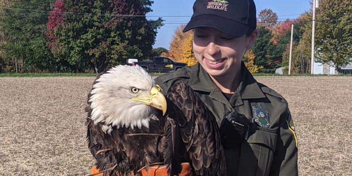 Eagle rescued in Erie County after being hit by car