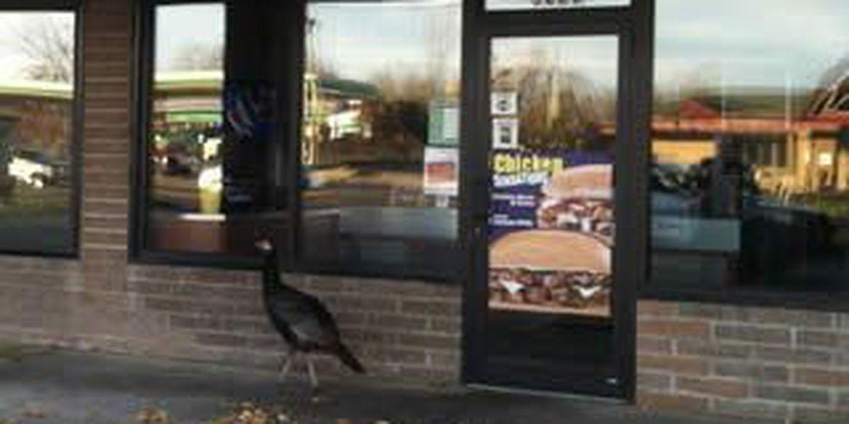 Turkey Talk! Brave bird spotted around Streetsboro