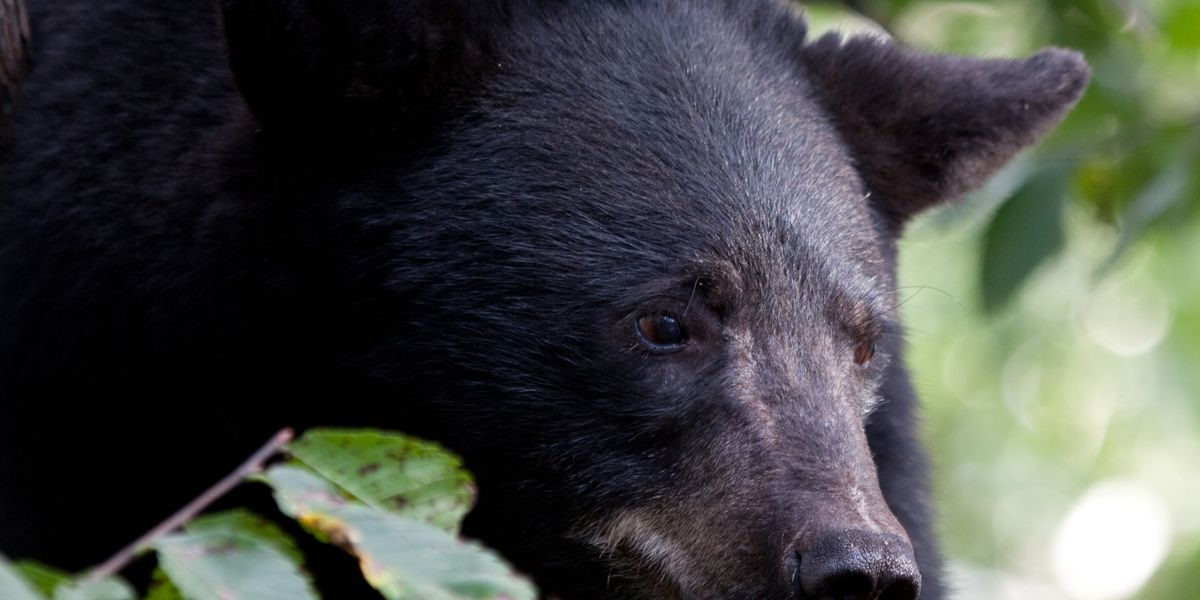 ODNR encourages bear-proofing yard during summer as animal's numbers creep upward in Northeast Ohio