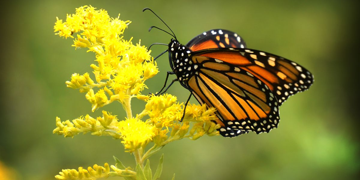 Monarch Butterflies visit Cleveland's Whiskey Island before fall migration