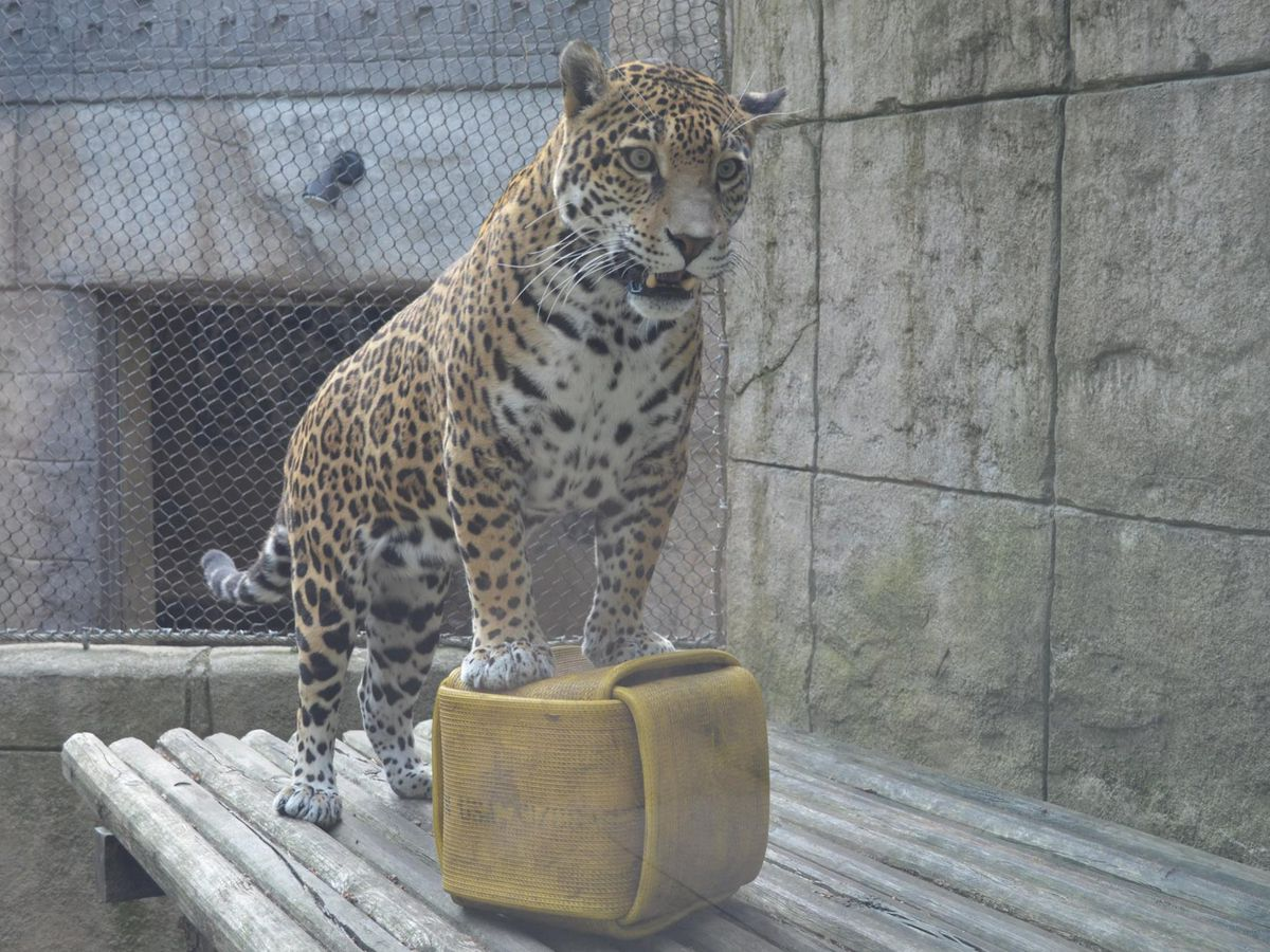 Report of jaguar escape from Akron Zoo turns to panic on social media