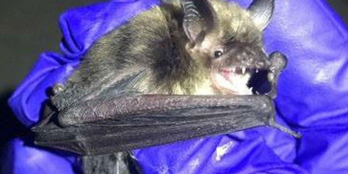 Endangered, rare bat found in Twinsburg