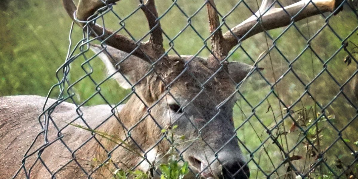 Deer stuck in fence by its antlers freed by Cleveland Police unit