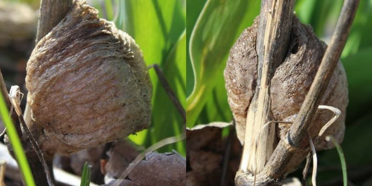 Hundreds of praying mantids could emerge from their eggs this spring in Northeast Ohio
