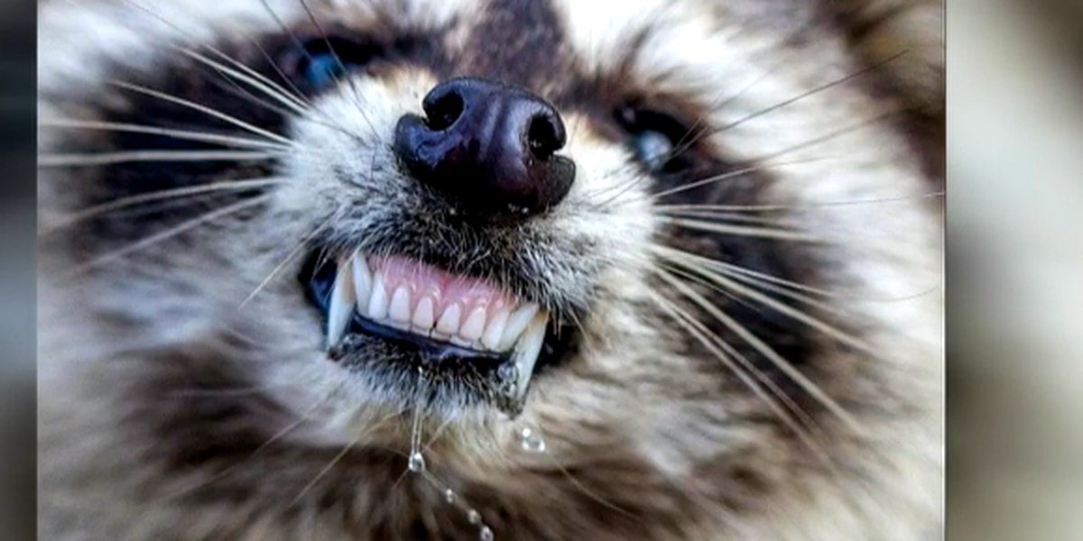 Vaccine packages to be dropped over Stark County to help control rabid raccoons