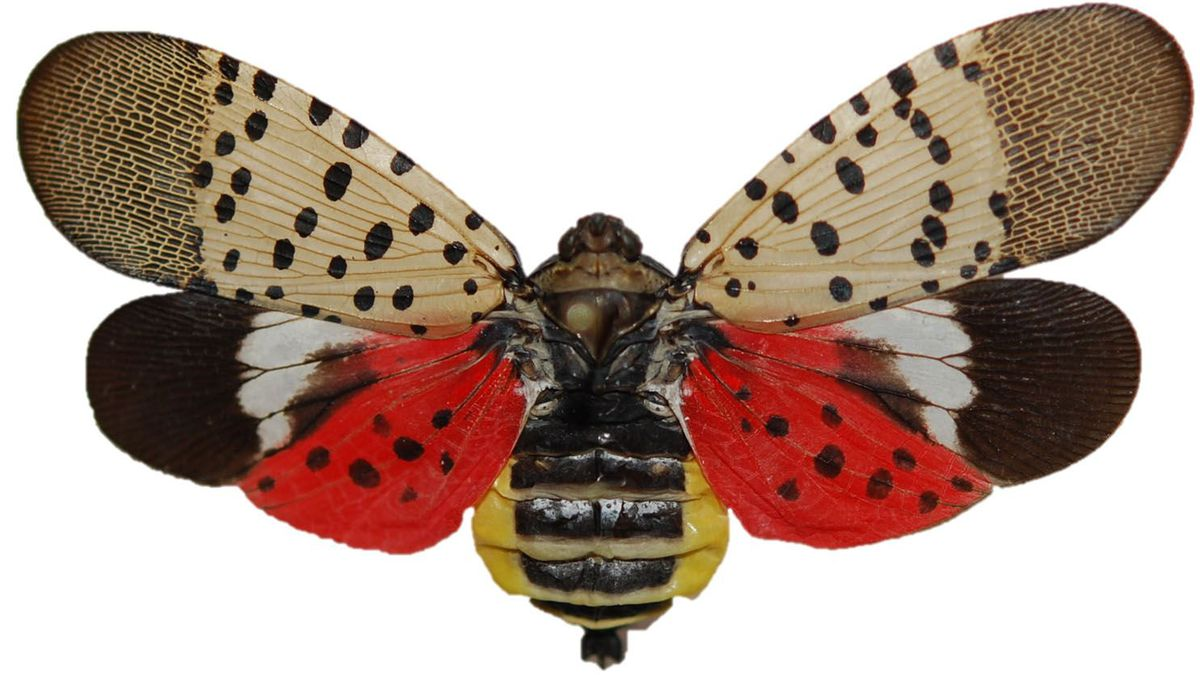 Invasive spotted lanternfly may descend on Ohio this spring, and that's not good