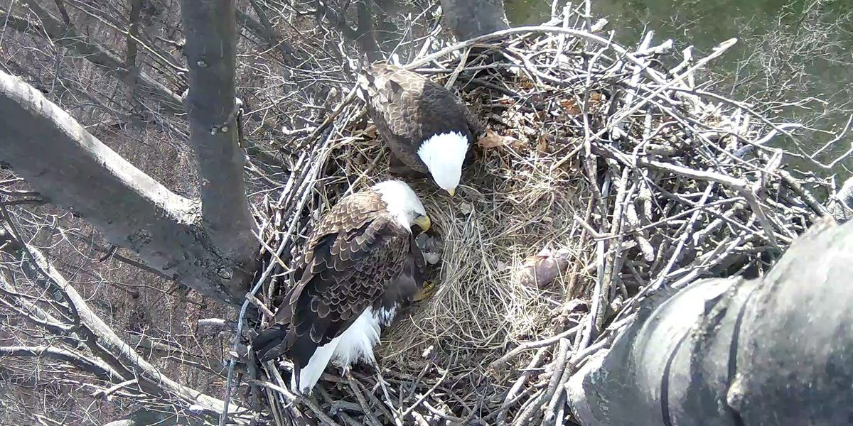 LIVE CAM: Last of three Avon Lake eagles born on web cam may have died