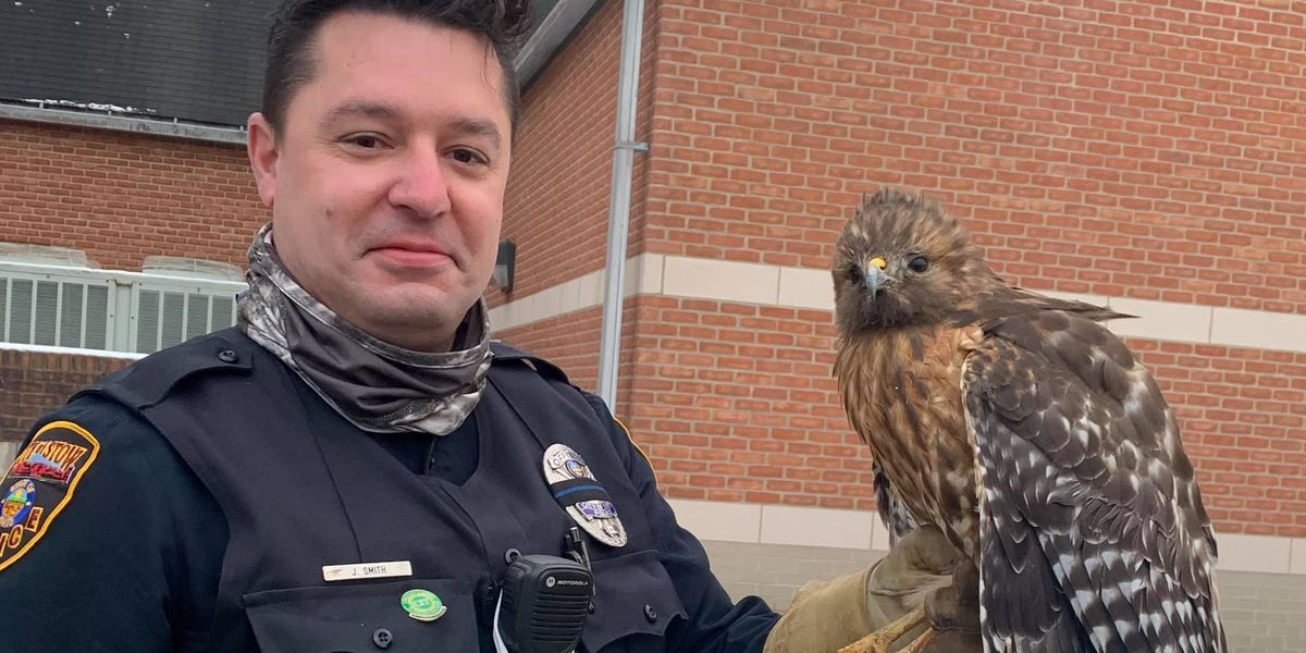 Stow hawk rescued from roadway after suffering broken wing