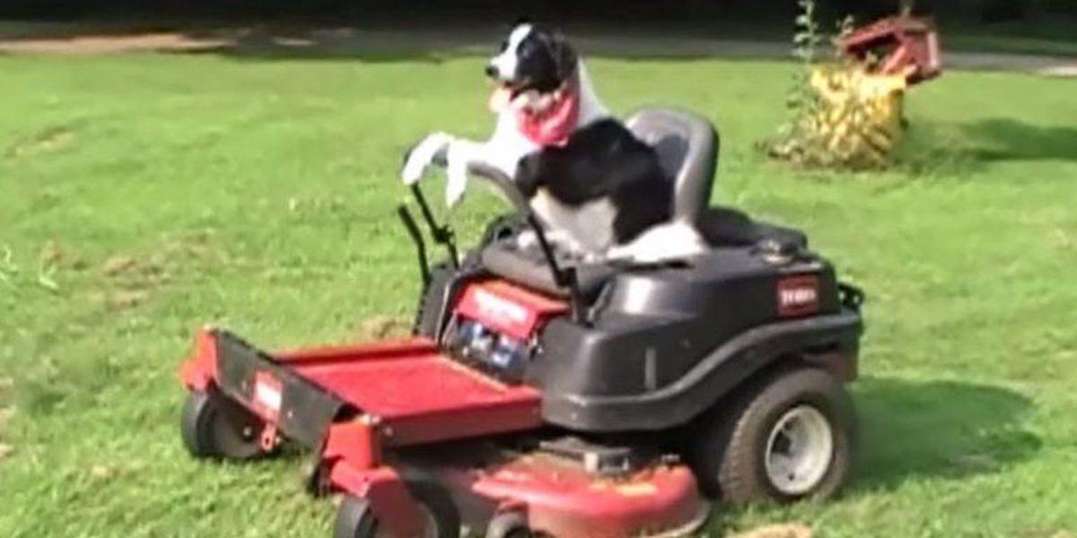 Border Collie Drives A Lawn Mower