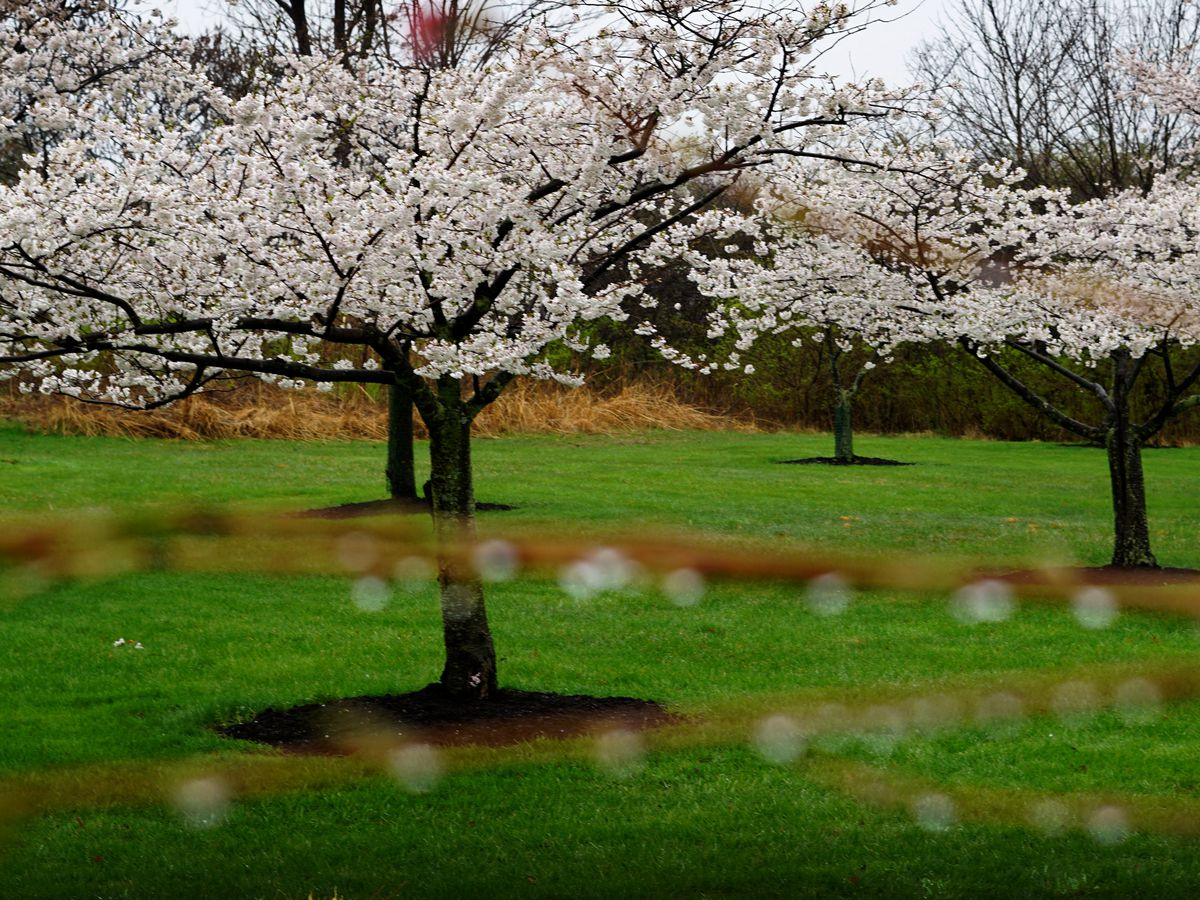 Photographs capture cherry bloom explosion on 'blossom lane' at Brookside Reservation