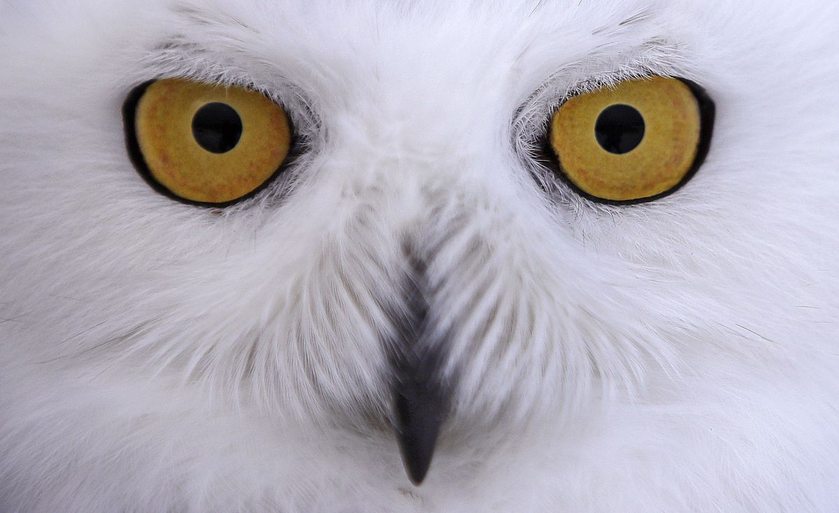 Cleveland Gas Prices >> First snowy owl of the season in Ohio spotted in Trumbull ...