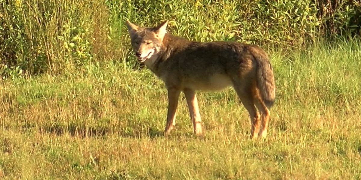 Coyote sightings increasing around Northeast Ohio