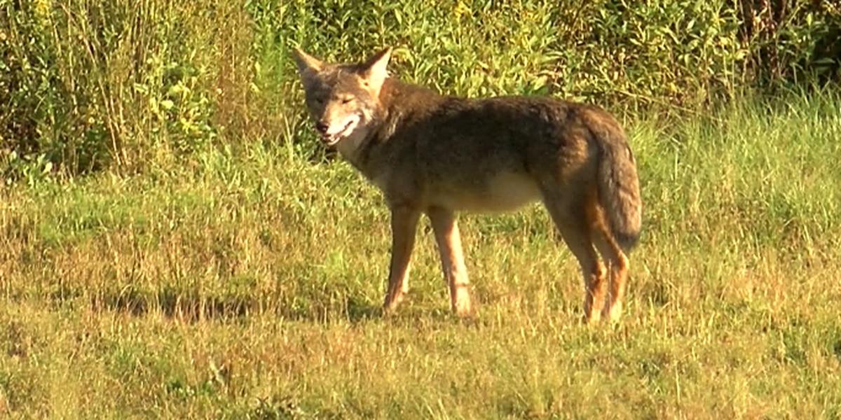 Coyote sightings increasing around Northeast Ohio