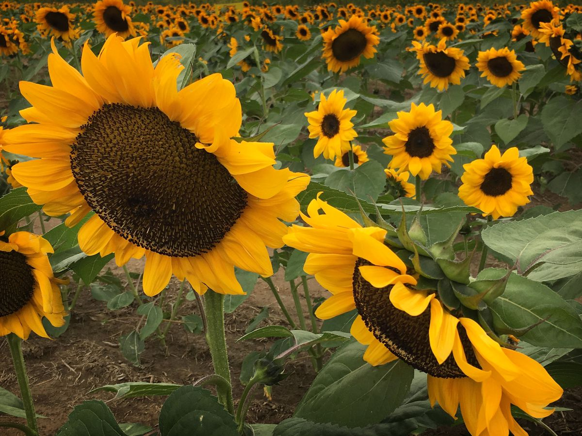 Maria's Field of Hope in Avon in full bloom for the 6th year in a row